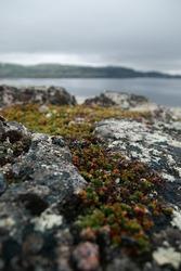 Moss and yagel on the northern rocks, plants and nature of the Arctic Ocean. Teriberka village, Kola Peninsula, Russia, Barents Sea.