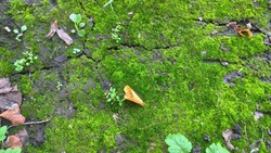 Moss background. Greenery moss on fertile soil, close up photo of moss. Surface of the forest soil. Nature background. Moss texture. Green background. Soil background. Texture surface. Green.