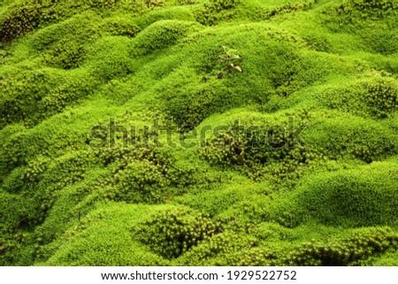 Moss carpet, Common Haircap Moss or Great Golden Maidenhair (Polytrichum commune), Reunion, Africa Photo stock ©