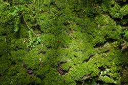 Moss cover texture at damp mossy forest. Fresh green nature. background