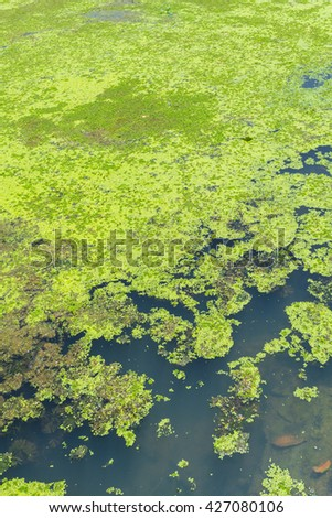 moss cover the river, water lettuec (Pistia stratiotes L.) plant in swamp.