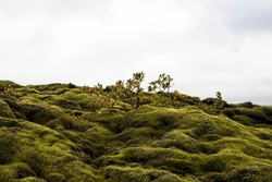 Moss covered lava rocks and miniature birch trees in southern Iceland at Lakagigar or Laki where a volcanic eruption in 1783-84 burned the landscape which has now overgrown with moss
