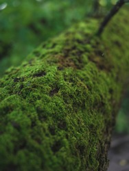 Moss-covered tree trunk, camera project, close-up. Green moss covered the bark of a tree in the forest. The concept of wild nature. Template.