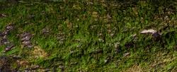 Moss green grunge  texture. Moss background. Green moss on grunge texture, background