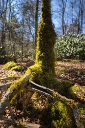 moss growing up a base of a tree in a sunny opening in the woods