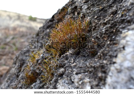 MOSS GROWN AND MATURED ON ROCK
