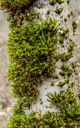 Moss grows on a tree trunk. Wood moss.