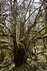 Moss lined tree photographed near Shelton, WA, USA.