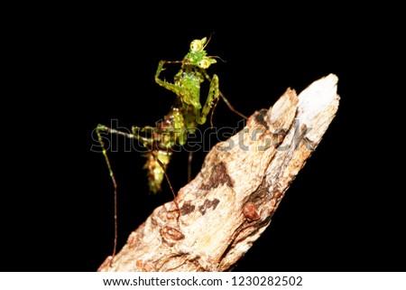 moss mantis, praying mantis, small mantis #1230282502