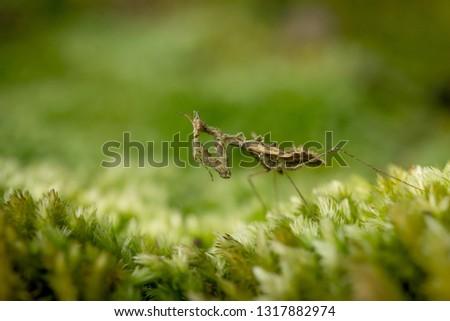 moss mantis, praying mantis, small mantis #1317882974