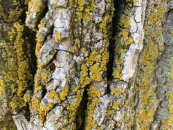 Moss On Basswood Tree Bark (Tilia americana)