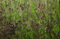 Moss on the bark of a tree. The texture of the tree bark.