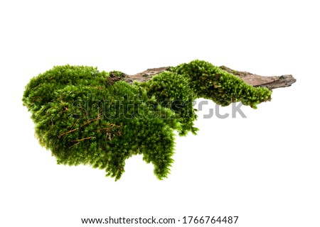 Moss or Mosses on a pine bark, Green moss on a tree bark isolated on white background, with clipping path