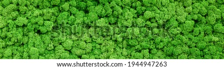 Moss texture background, panoramic banner with green reindeer moss in home garden or indoor. Panorama of lichen plants on inside office wall. Concept of nature, interior design and landscaping.
