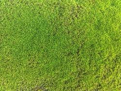 Moss texture close up. Mossy green background. Garden surface