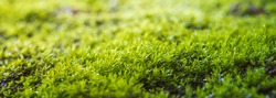 Moss texture. Moss background. Green moss on grunge texture, background in panorama