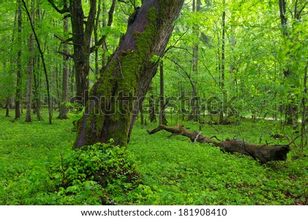 Moss wrapped old linden tree in spring with fresh plants around in deciduous stand of Bialowieza Forest