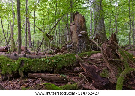 Moss wrapped old oak tree broken lying in autumnal ladscape of deciduous stand of Bialowieza National Park