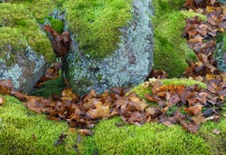 Mossy boulders with leaves in autumn