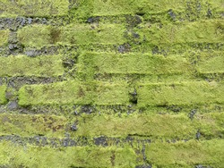 Mossy brick wall. Green mossy. Dirty brick wall. Natural mossy for background.