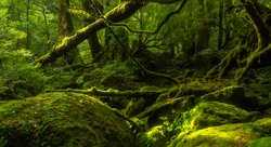 Mossy forest in Yakushima Island, Kagoshima prefecture, Japan