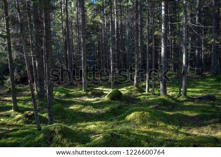 Mossy forest trees landscape. Autumn mossy forest trees sunlight background. Forest moss trees view. Autumn forest moss scene