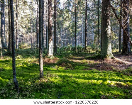 Mossy forest trees landscape. Autumn mossy forest wilderness scene. Forest green moss trees view. Autumn mossy forest trees background