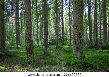 Mossy forest trees landscape. Forest moss trees background. Karelia mossy forest trees view. Autumn mossy forest trees scene