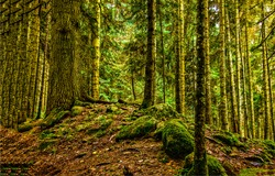 Mossy forest trees scene. Forest trees view. Mossy forest scene. Forest trees background