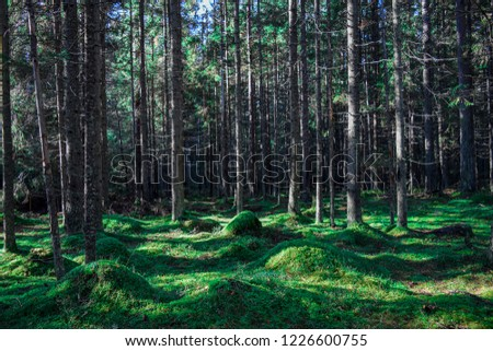 Mossy forest trees sunlight background. Forest moss trees landscape. Autumn mossy forest trees view. Mossy forest trees sunlight view