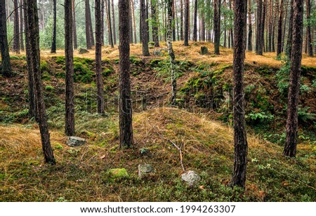 Mossy ground in a pine forest. Pine tree forest scene. Pinewood mossy ground