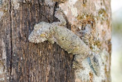 Mossy leaf-tailed gecko (Uroplatus sikorae) camouflaged on a tree in Madagascar