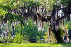 Mossy Oak Tree - Slidell, Louisiana north of New Orleans and Lake Pontchartrain on Bayou Liberty - Swamp Scene