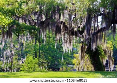 Mossy Oak Tree - Slidell, Louisiana north of New Orleans and Lake Pontchartrain on Bayou Liberty - Swamp Scene Stok fotoğraf ©
