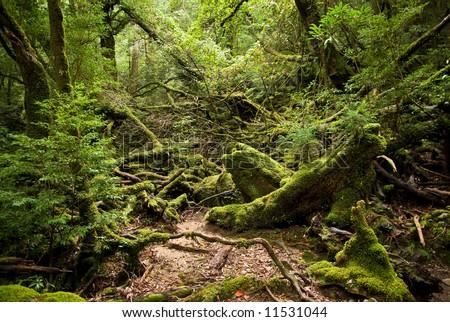 Mossy rain forest of Yakushima Island, Japan