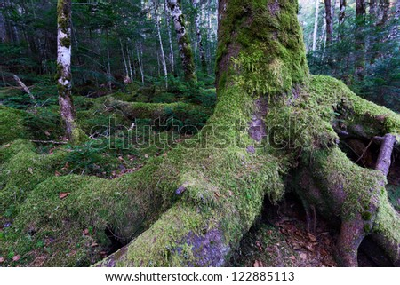 Mossy spruce and birch forest in Yatsugatake in Japan