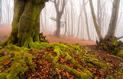 Mossy tree roots in the autumn forest. Mossy roots of forest tree in autumn mist. Misty forest tree roots in autumn. Autumn misty forest tree mossy roots