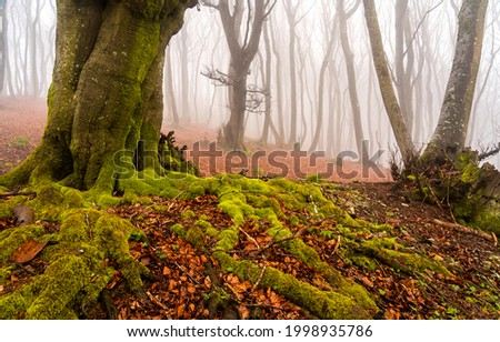 Mossy tree roots in the autumn forest. Mossy roots of forest tree in autumn mist. Misty forest tree roots in autumn. Autumn misty forest tree mossy roots Foto d'archivio ©