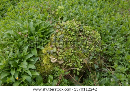 Mossy Tree Trunk Covered with Weeds, Bramble and Bracket Fungus and Surrounded bu Ransons or Wild Garlic (Allium ursine) in a Woodland Country Cottage Garden in Rural Devon, England, UK