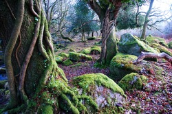 mossy tress strangled by ivy in ancient woodland