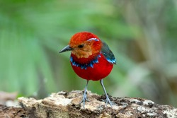 Most beautiful, wired and endemic bird to Borneo Island, Blue Banded Pitta also known as Jewel of Borneo (Erythropitta arquata)