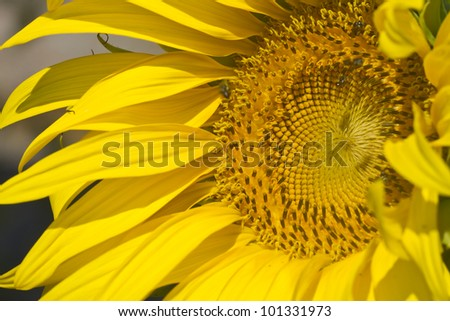 Most of a Sunflower Closeup