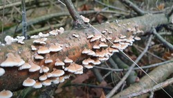Most polypores are edible or at least non-toxic. Bracket fungi, or shelf fungi produce shelf- or bracket-shaped or occasionally circular fruiting bodies called conks. They are mainly found on tree