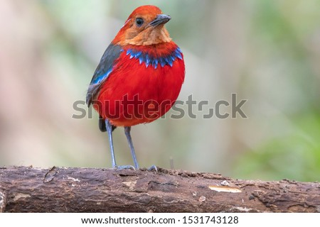 Photo of  Most wired and beautiful pitta in world which is endemic to Borneo Island, Blue Banded Pitta also known as Jewel of Borneo