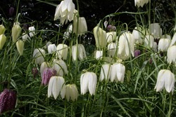 mostly white snake's head fritillary (Fritillaria meleagris) in a natural woodland setting
