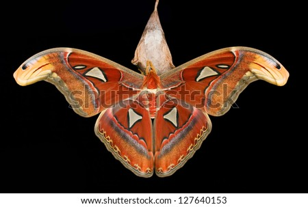 Moth (Attacus atlas) seated on his cocoon in front of a black background