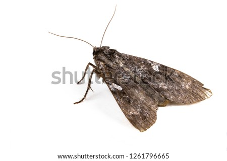 Moth cabbage budworm on a white background. Side view. Macro.