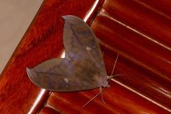Moth, Insect. animal. Mimic dead leaves. Taken at Nanling, Guangdong province, South China.