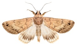 Moth isolated on the white background.