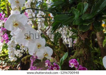 Moth Orchid in garden Species Phalaenopsis cultivar Scientific name Phalaenopsis amabilis Family name Orchidaceae.